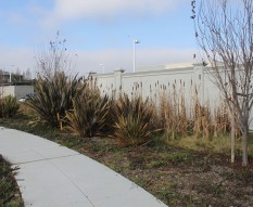 Cattails in swale/rain garden at San Leandro Business Center