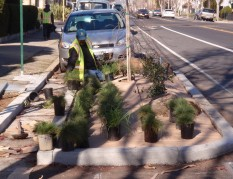 "Workers planting in ""green street"" bioswale, Adeline Street, Emeryville"