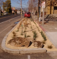 Swale on Adeline, Emeryville, just after planting in January 2011